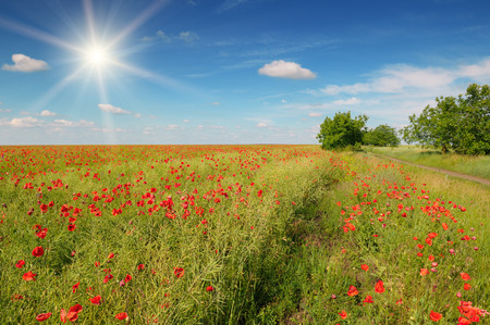 red poppies on green field: field with poppies and sun on blue sky