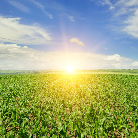 blue and green: corn field and sunrise on blue sky