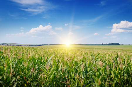 zonsopgang boven het maïsveld Stockfoto