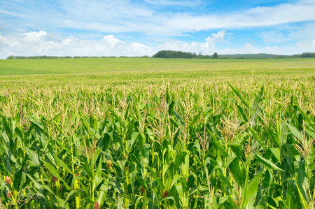 corn: green corn field and blue sky Stock Photo