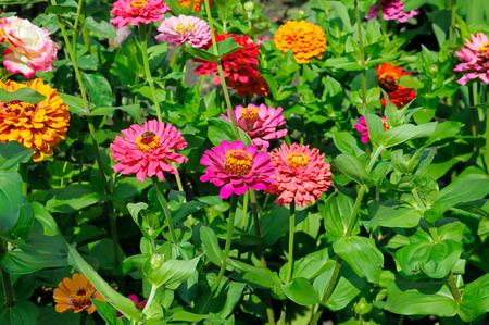 美しい花の百日草の背景