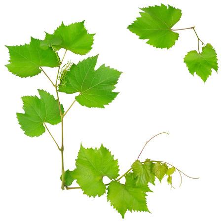 つると葉は、白い背景で隔離