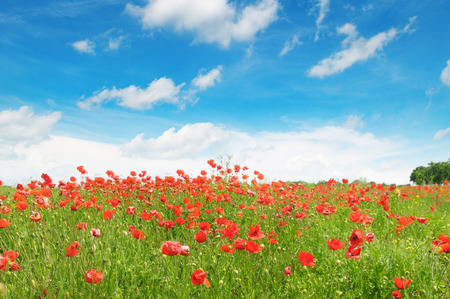 red poppies on green field: meadow with wild poppies and blue sky