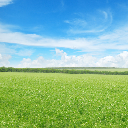 tree in field: green pea field and blue sky