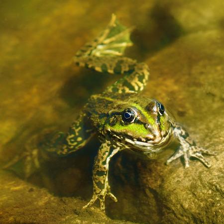 anuran: edible frog in muddy water Stock Photo