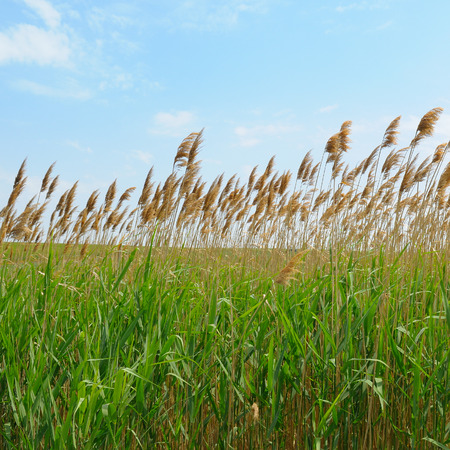 the thicket: thicket of reeds over blue sky background