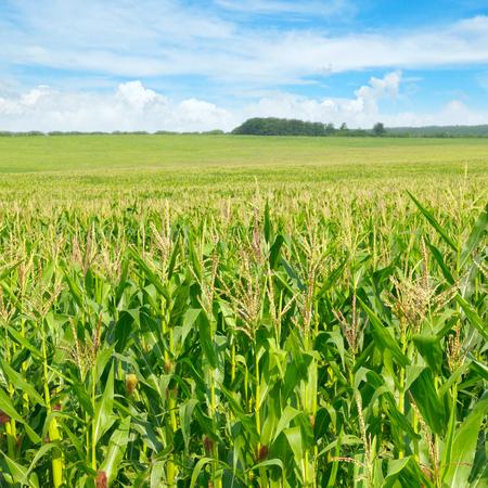 緑トウモロコシ畑と青い空