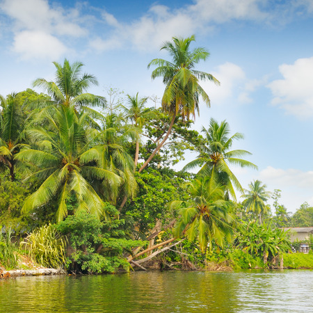palmier: Tropical palm forest on the river bank
