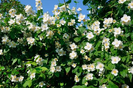jasmine bush: blooming jasmine bush on a background of blue sky