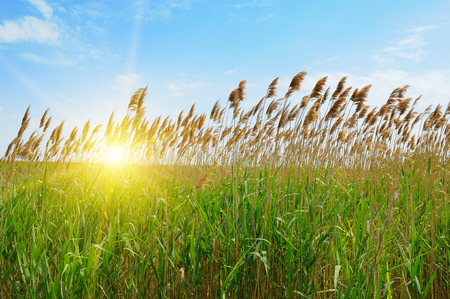 thicket: thicket of reeds over blue sky background