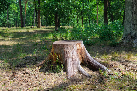 tronco: tocón de árbol viejo en el parque de verano Foto de archivo