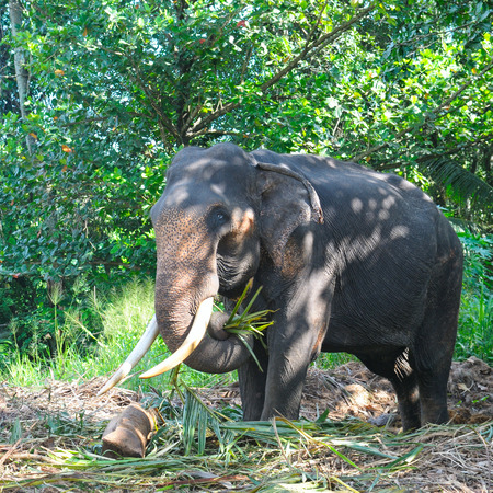 tusks: Asian elephant with tusks in the forest