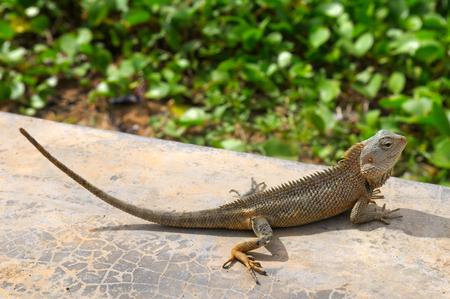 chordates: lizard basking in the sun (the wildlife of Sri Lanka)