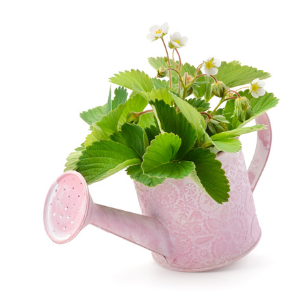 immature: Leaves, flowers and immature fruit of strawberries in a watering can isolated on white background