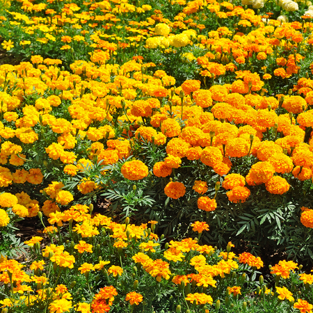 marigolds: beautiful background of yellow marigolds