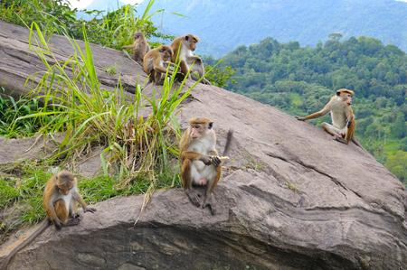 ledge: family of wild monkeys on the ledge
