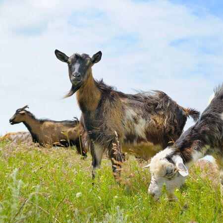 pastureland: domestic goats grazing on pasture