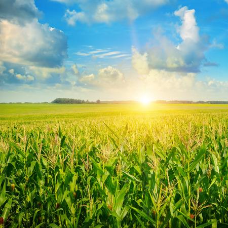 champ de mais: lever de soleil sur le champ de maïs
