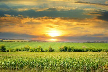 sunny day: corn field and sunrise on blue sky