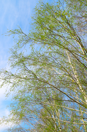 twigs: birch twigs against the blue sky