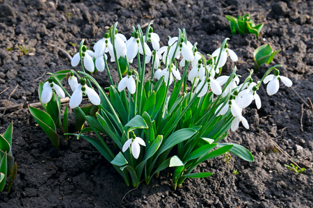 cowslip: snowdrop on the background of the soil Stock Photo