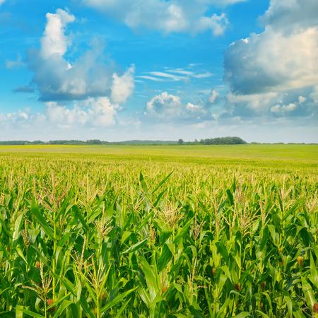 tree in field: green corn field and blue sky Stock Photo