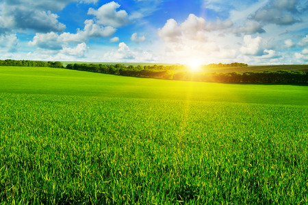 green fields: wheat field and sunrise in the blue sky