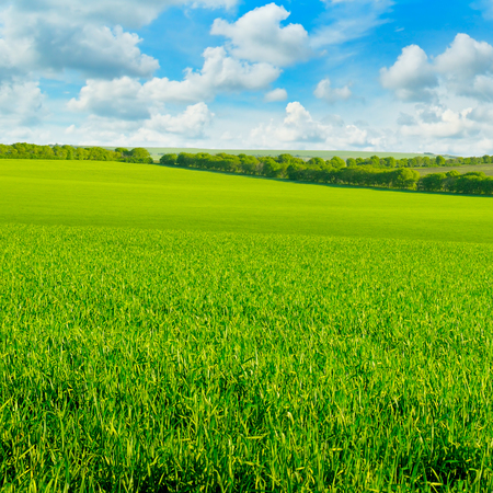 wheatfield: green field and blue sky with clouds