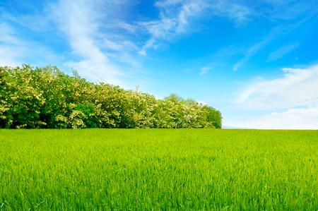 langosta: campo de trigo, cielo azul y el árbol de la langosta. Foto de archivo
