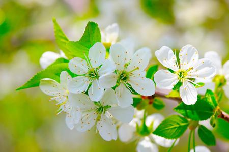 sprig: sprig of flowering cherry blossoms in spring garden Stock Photo