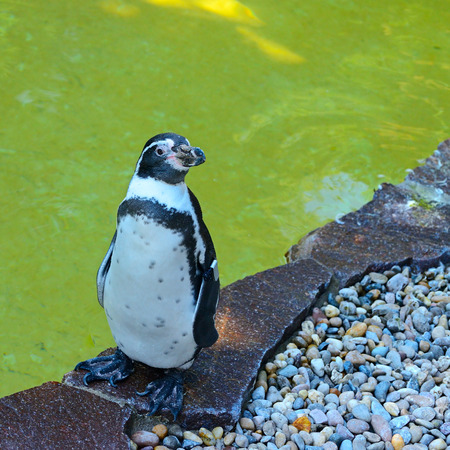 hemisphere: Penguin- flightless seabird of the southern hemisphere, with black upper parts and white underparts