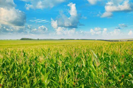 green corn field and blue sky 스톡 콘텐츠