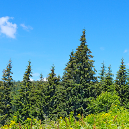 hillside: spruce forest on the hillside