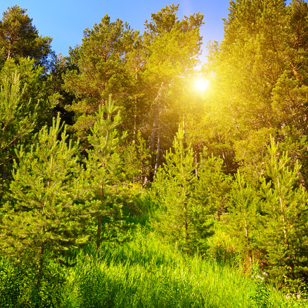 spruce forest on the hillside and sun Stock Photo