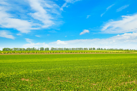 haricot: Spring field with young vegetation and blue cloudy sky