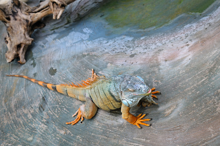 the greenish: large, arboreal, tropical American lizard with a spiny crest along the back and greenish coloration