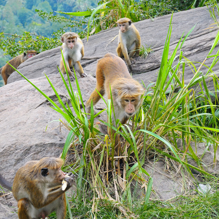 male monkey and his family in the wild Stock Photo
