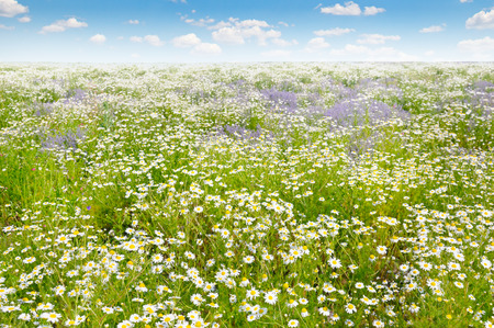 daisys: Field with daisies and blue sky, focus on foreground. Shallow depth of field.