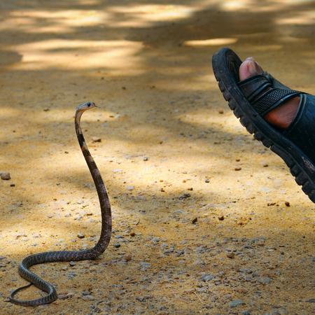 king cobra: king cobra attacks man