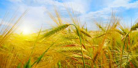 harvest field: wheat field and sunrise in the blue sky