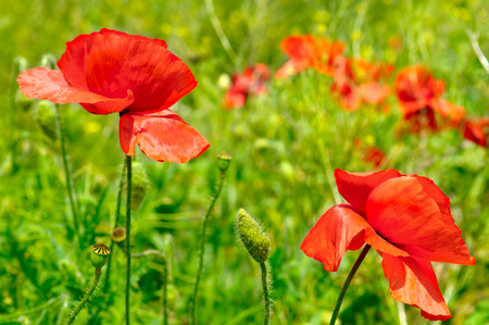 showy: wild poppies,herbaceous plant with showy flowers, milky sap, and rounded seed capsules