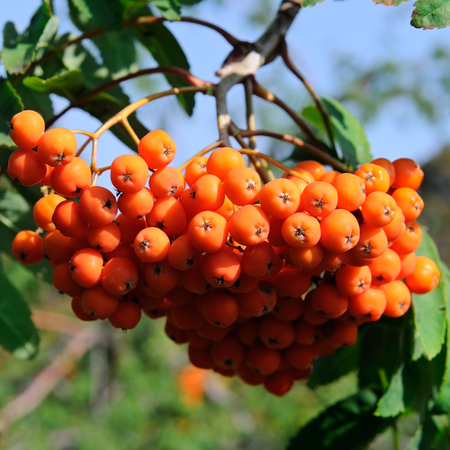 sorb: red berries of rowan on a blue sky background