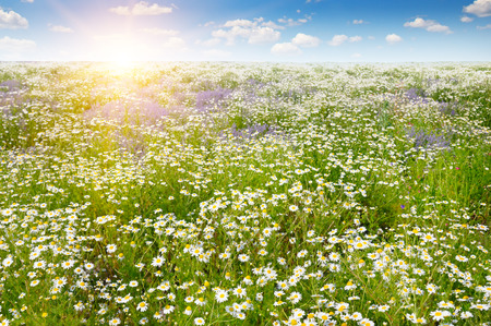 daisys: Field with daisies and sun on blue sky, focus on foreground