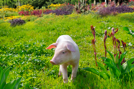 piglets: pig on a background of green grass and flowers
