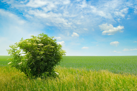 nature photo: green field, elderberry bushes blooming and blue sky with light clouds