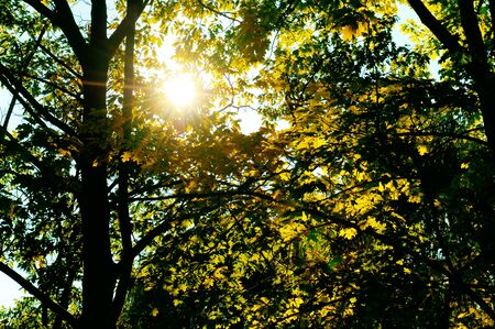 penetrate: the suns rays penetrate through the leaves and branches of the oak Stock Photo