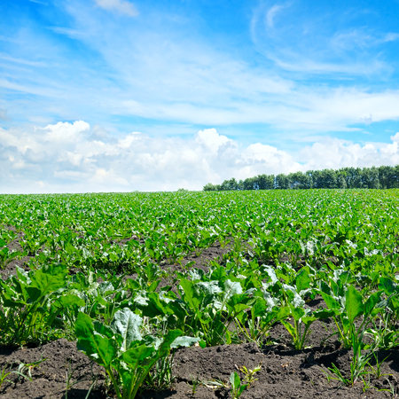 green beet field and blue sky Stock Photo