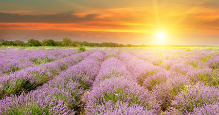 Field with blooming lavender and sunrise Stock Photo