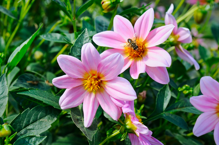 Dahlia, bee on a flower. Focus it on the flowers. Shallow depth of field. Stock Photo