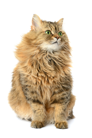 cat isolated: domestic cat isolated on a white background Stock Photo